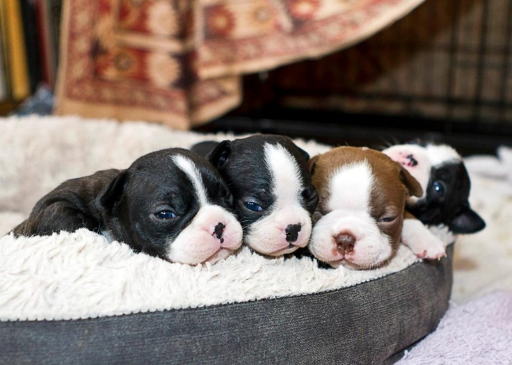 cute-overload-of-boston-terrier-puppies-in-a-bed.jpg